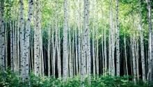 DCM 10월호 인제 원대리 자작나무숲